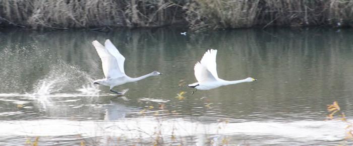 志田谷地の白鳥