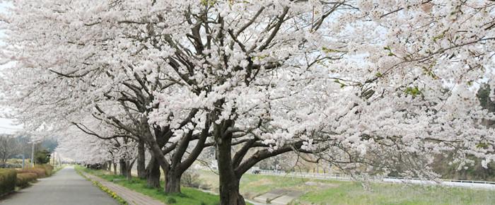 幡谷の桜並木